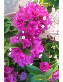 Pianta Bougainvillea Mini Thai