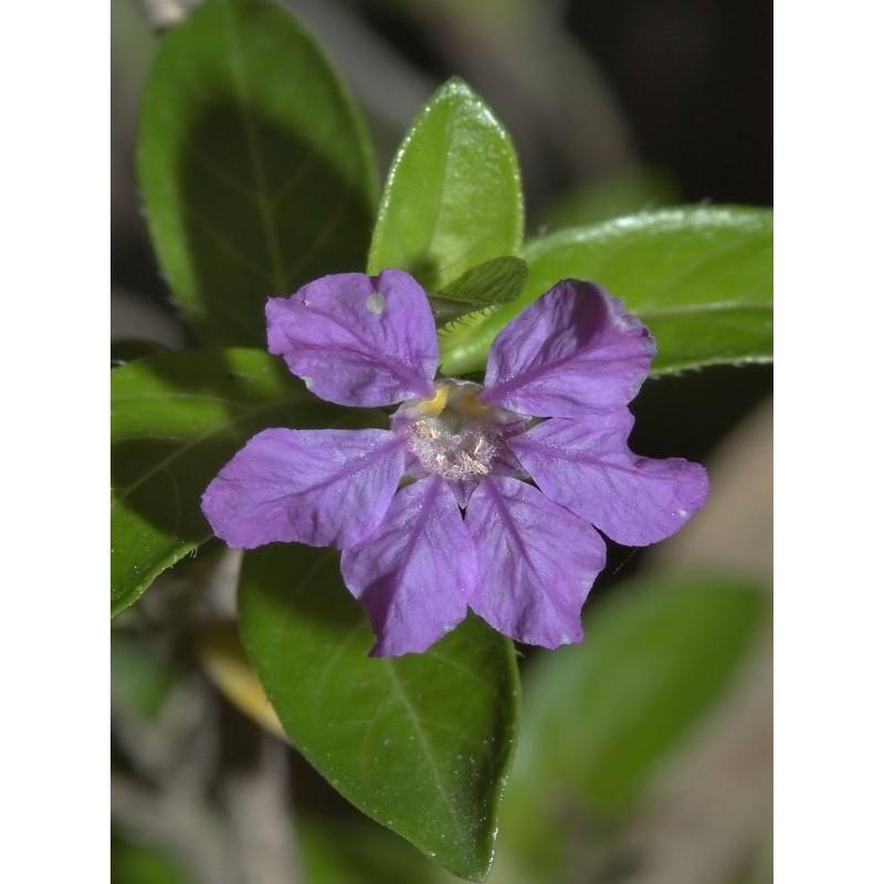 Pianta Cuphea Viola Disponibile in Vaso 18cm - Piante da Giardino