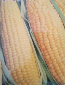 Semi pianta Mais Dolce