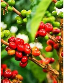 Semi Pianta Caffè