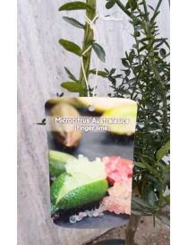 Albero Limone Caviale Australasica