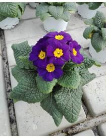 Pianta Primula Acaulis