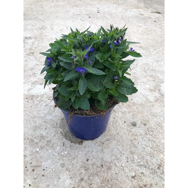 Pianta Lobelia in Vaso 14cm - Piante Fiorite
