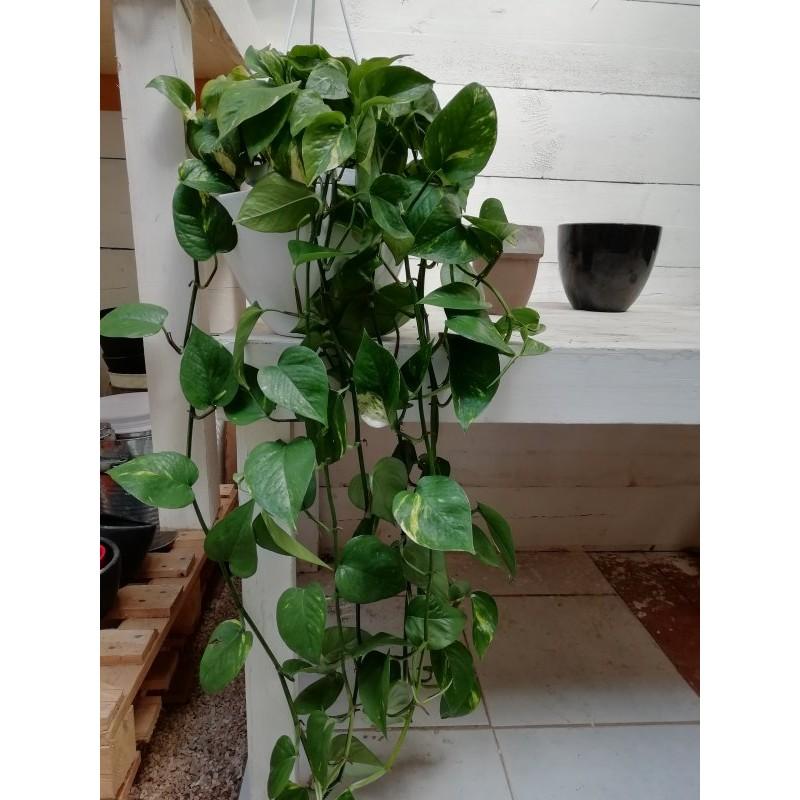 Pianta pothos in vari formati piante da interno for Piante acquisto