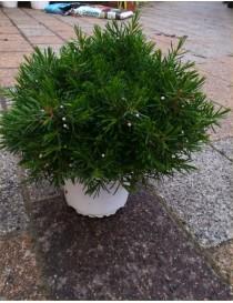 Pianta Wax Flower in Vaso...