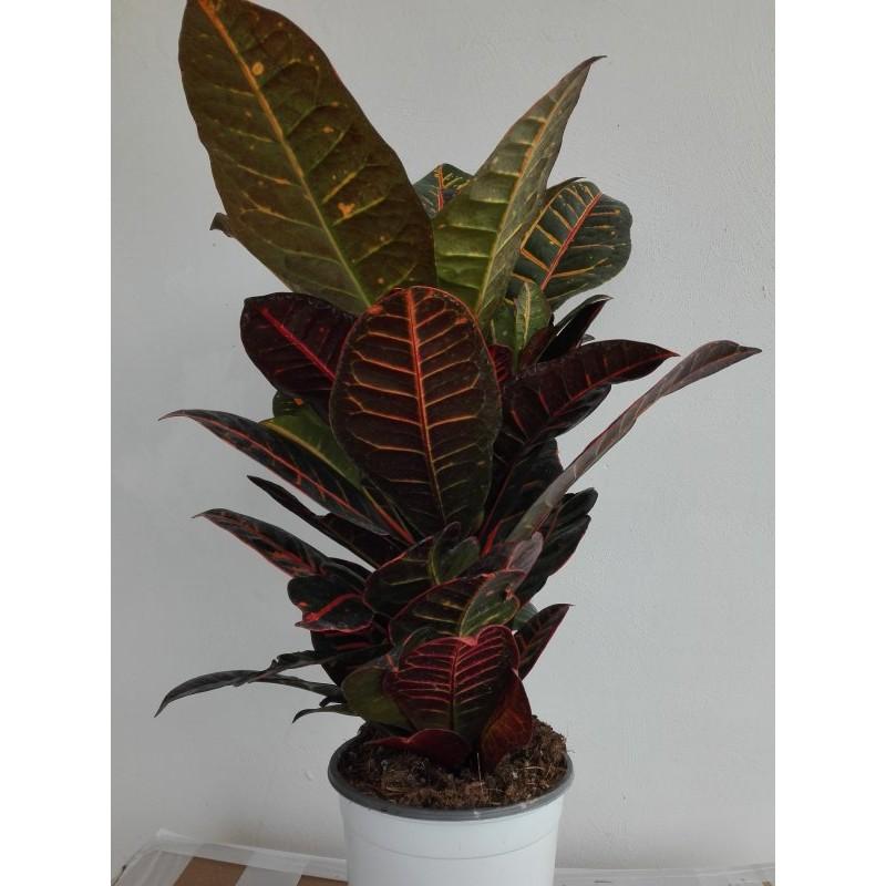 Piante Da Appartamento Foglie Rosse.Pianta Croton In Vaso 17cm Piante Da Interno