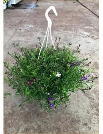 Pianta Lobelia in Vaso 14cm...