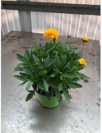 Pianta Coreopsis in Vaso...