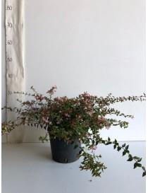 Pianta Abelia Grandiflora...