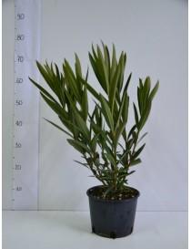 Pianta Oleandro in Vaso 7cm...