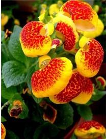 Pianta Calceolaria