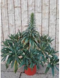 Pianta Echium in Vario...