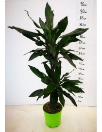Pianta Dracaena Fragrans in...