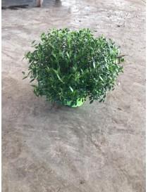 Pianta Mirto vaso 10cm