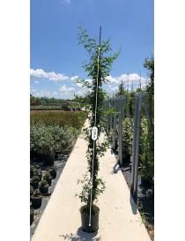 Pianta Gelsomino Azoricum vaso 22cm