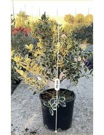 Pianta Ilex Aquifolium in...