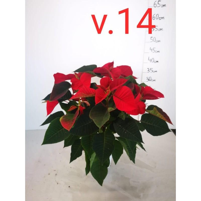 Pianta Stella di Natale Vaso 14cm