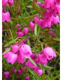 Pianta Boronia Heterophylla...