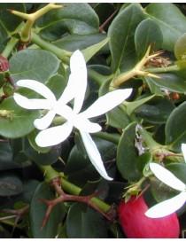 Pianta Carissa Macrocarpa Disponibile in Vaso 7cm - Piante da Ricoltivare