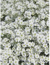 Pianta Cerastium Tomentosa Disponibile in Vaso 7cm - Piante da Ricoltivare