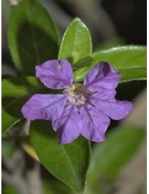 Pianta Cuphea Hyssopifolia Lilla Disponibile in Vaso 7cm - Piante da Ricoltivare