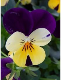 Pianta Viola in Vaso 14cm -...