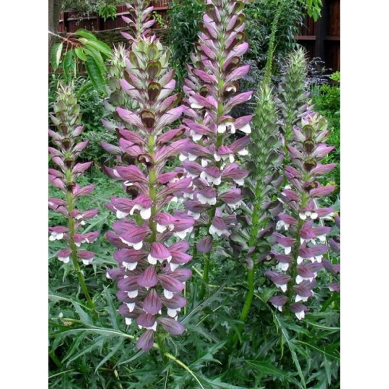 Pianta acanto disponibile in vari formati piante fiorite for Piante acquisto