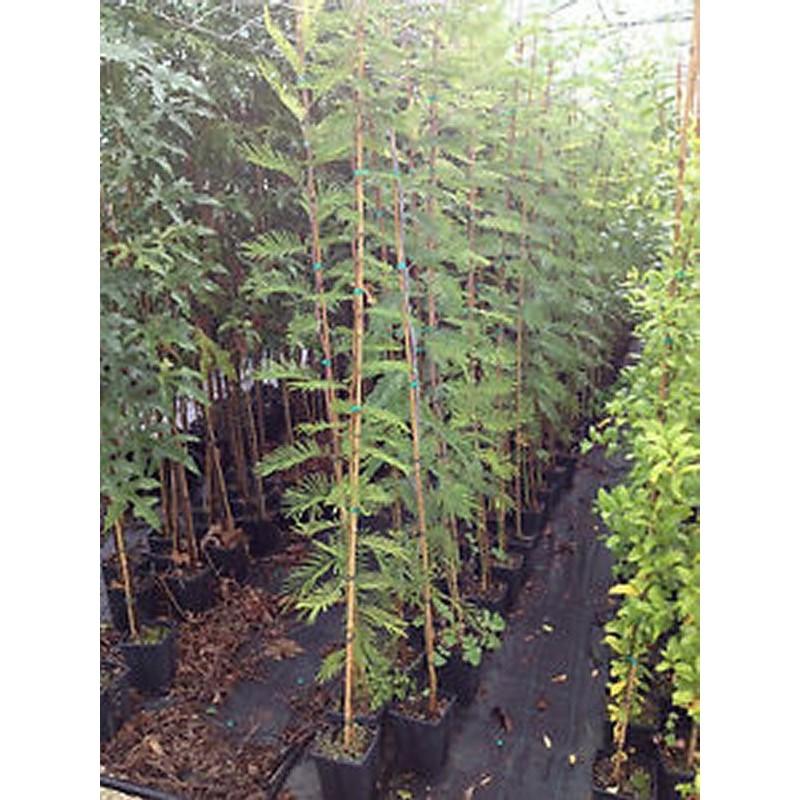 Albero Acacia Saligna - Astone