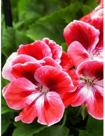 Pianta Pelargonium in vari...