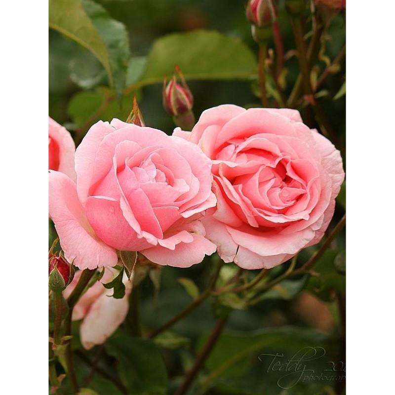 pianta rosa ForRosa Pianta
