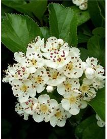 Pianta Biancospino