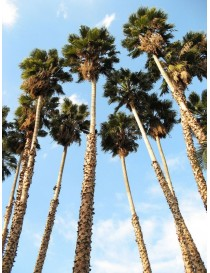 Pianta Washingtonia Robusta...