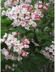 Pianta Viburnum Fragrans in...