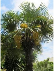 Pianta Trachycarpus...