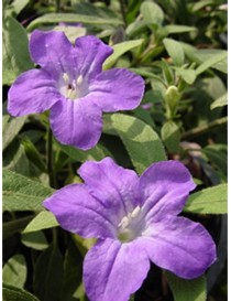 Pianta Ruellia Disponibile...