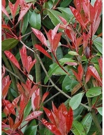 Pianta Photinia in Vario...