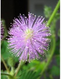 Pianta Mimosa Pudica in...