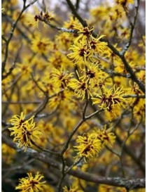 Pianta Hamamelis in vaso 22...