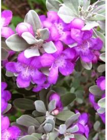 Pianta Leucophyllum in Vaso...