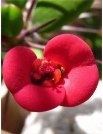 Pianta Euphorbia in Vaso...
