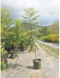 Albero Jacaranda Mimosifolia
