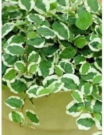 Pianta Ficus Pumila in Vaso...