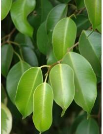 Albero Ficus Benjamina in...