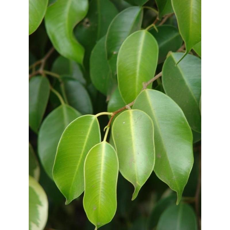 Pianta Ficus Astralis Vaso 7cm