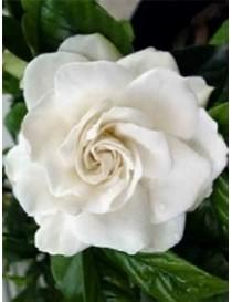 Pianta Gardenia in Vaso 7cm...