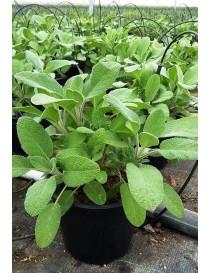 Pianta Salvia