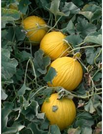 Pianta melone for Pianta di melone