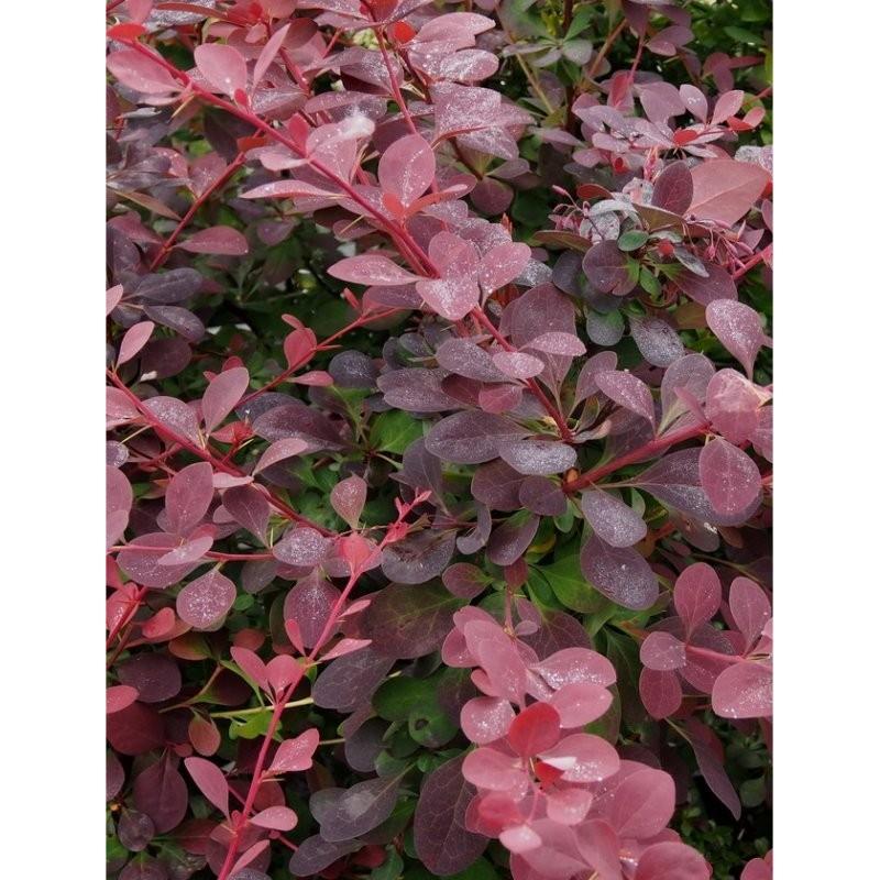Piante per siepi nomi gallery of piante da balcone for Cipresso nano
