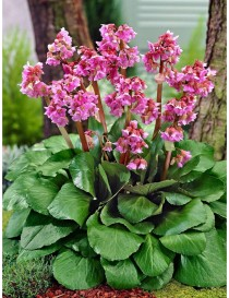 Pianta Bergenia Disponibile...