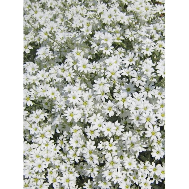 Pianta Cerastio Tomentosa Disponibile in Vaso 18cm - Piante da Giardino